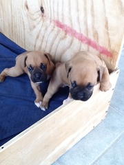 AKC Boxer Puppies for Sale 5 weeks Ols
